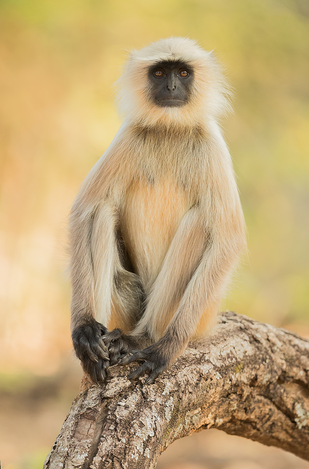 Hanuman langur, Bandhavgarh National Park, Madhya Pradesh, India. These old world monkeys are named after the Hindu monkey god, Lord Hanuman, and are regarded as sacred in India.