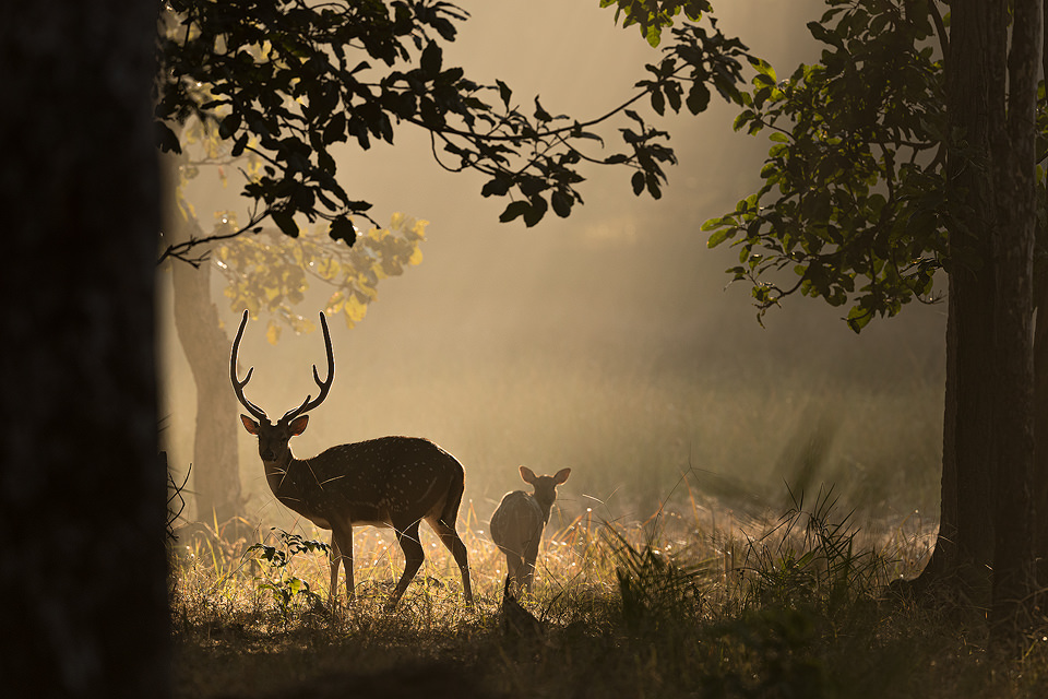 Chital deer stag and doe silhouette against shafts of light coming through the jungle at dawn. Bandhavgarh National Park, Madhya Pradesh, India.