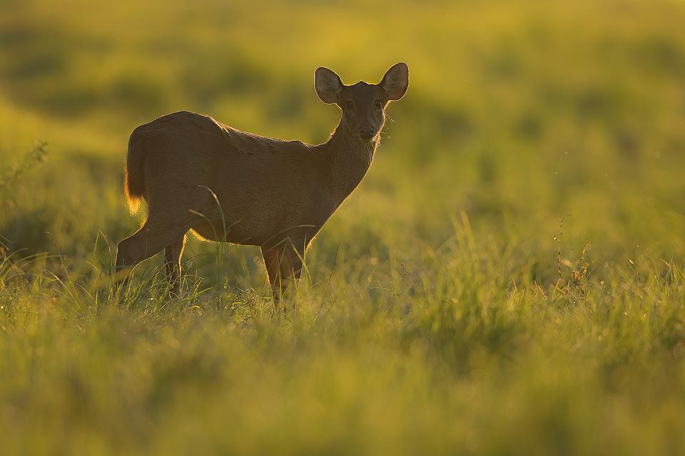 Backlit female Hog Deer in the grasslands of Kaziranga National Park, Assam, India.