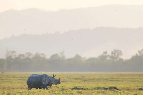 Indian rhinoceros, in the grasslands beneath the Himalayan foothills, Assam, India. Thanks to their enormous size and thick armour-like hide, rhinos have no natural predators. Despite this they are notoriously grumpy and easily spooked. When they feel threatened they tend to charge directly at whatever has scared them, including our jeep!
