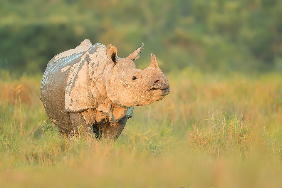 Greater one-horned rhinoceros in some warm late afternoon sunshine, Northeastern India. Although the Rhinos spent much of their time hidden away deep in the Jungle, they often came out onto the open grassy plains to feed in the late afternoon offering some fantastic photographic opportunities.
