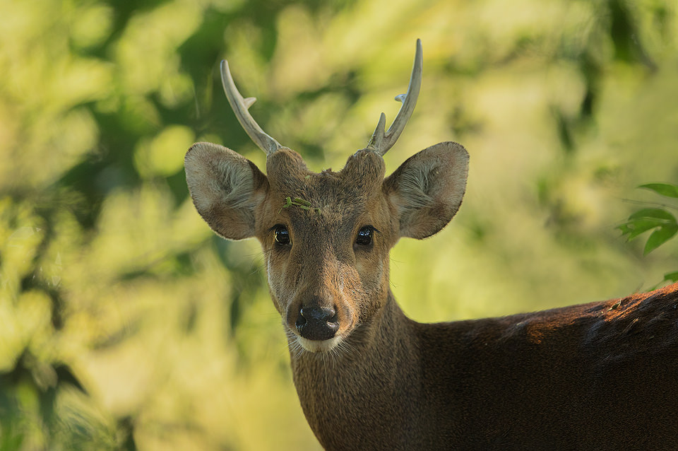 Portrait of a young male Hog Deer, Assam, India.