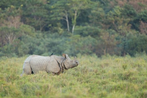 Great Indian Rhino grazing at the edge of the jungle with a Drongo on its back, Assam, India. Thanks to their enormous size and thick armour-like hide, rhinos have no natural predators. Despite this they are notoriously grumpy and easily spooked. When they feel threatened they tend to charge directly at whatever has scared them!