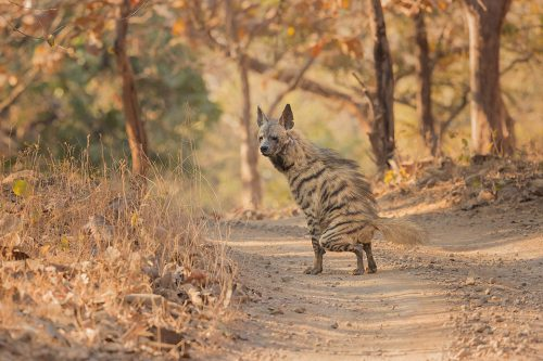 Striped Hyena Scent Marking. Male striped hyena scent marking the dry dusty track in the dry deciduous forests of Gir National Park, Gujarat.