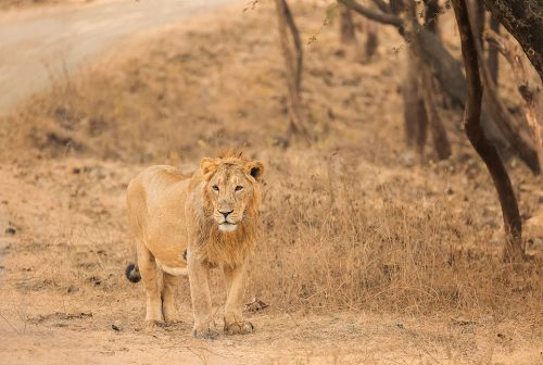 Asiatic Lion Habitat. Male Asiatic Lion in the dry deciduous forests of Gir National Park, Gujarat.