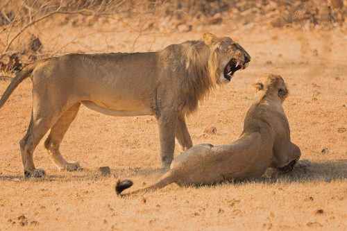 Asiatic Lion roaring at his mate. Gir National Park, Gujarat.