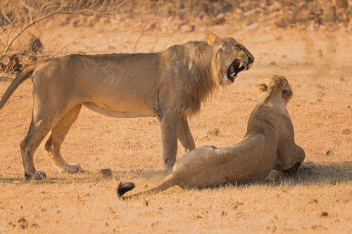 Asiatic Lion roaring at his mate. Gir National Park, Gujarat.