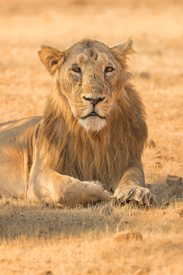 Asiatic Lion Portrait. Male Asiatic Lion resting in the dry deciduous forests of Gir National Park, Gujarat.