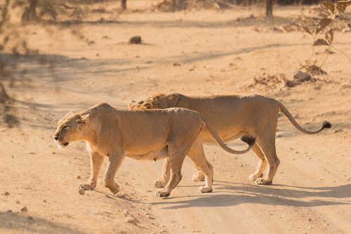 Mating Pair of Asiatic Lions, crossing the dusty track. Gir National Park Gujarat.