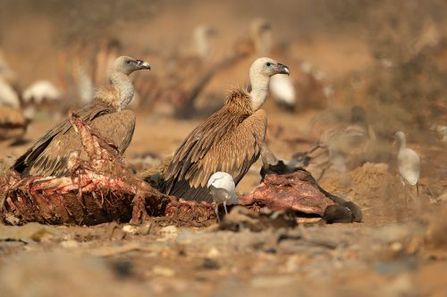 A pair of Griffon vultures feeding on the carcass of a cow. Rajasthan, India. Vulture populations have decreased dramatically in recent years and many are now endangered. This decline in numbers is largely due to poisoning when they unknowingly feed on carcasses that are full of harmful chemicals and lead.