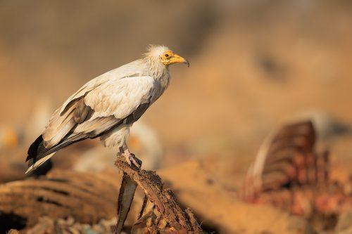 Adult Egyptian vulture perched on the rib cage of a carcass. Rajasthan, India. The population of Egyptian vultures decreased dramatically in recent years and is now endangered. This decline in numbers is largely due to poisoning when they unknowingly feed on carcasses that are full of harmful chemicals and lead.