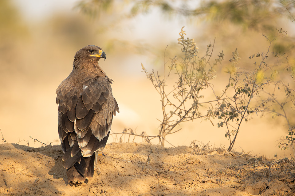 Steppe Eagle in warm evening light Rajasthan, India. Bird of Prey populations have decreased dramatically in recent years and many are now endangered. This decline in numbers is largely due to poisoning when they unknowingly feed on carcasses that are full of harmful chemicals and lead.