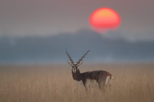 Male blackbuck at sunrise. Tal Chhapar Sanctuary, Rajasthan, India. India's Grasslands are home to some of its most endangered species, many of which are endemic. This important habitat now only exists in a handful of places in India and is sadly becoming increasingly scarce.