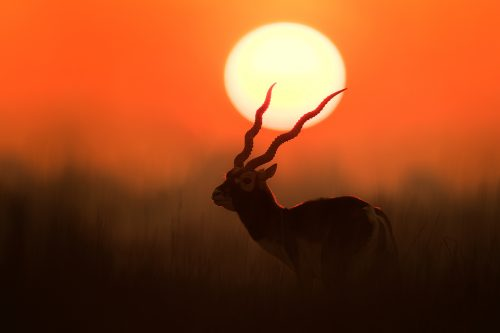 Blackbuck Silhouette. Male blackbuck silhouetted against the rising sun. Rajasthan, India. India's Grasslands are home to some of its most endangered species, many of which are endemic. This important habitat now only exists in a handful of places in India and is sadly becoming increasingly scarce.
