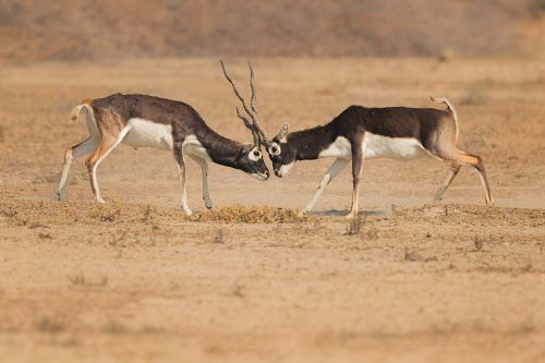 Rutting Blackbucks. Two Male blackbucks engaged in a fierce territorial battle. Tal Chhapar Sanctuary, Rajasthan, India. India's Grasslands are home to some of its most endangered species, many of which are endemic. This important habitat now only exists in a handful of places in India and is sadly becoming increasingly scarce.