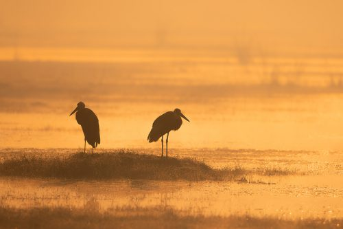 A pair of Woolly-necked storks photographed during a misty golden sunrise in Bharatpur, Rajasthan, India.