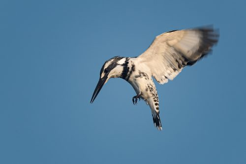 Hovering Pied Kingfisher against a bright blue sky. Rajasthan, india. India is home to many interesting varieties of kingfisher, such as the Pied Kingfisher, Oriental Dwarf Kingfisher, Black-Capped Kingfisher, Common Kingfisher, Collared Kingfisher, Stork-Billed Kingfisher and White-breasted Kingfisher.