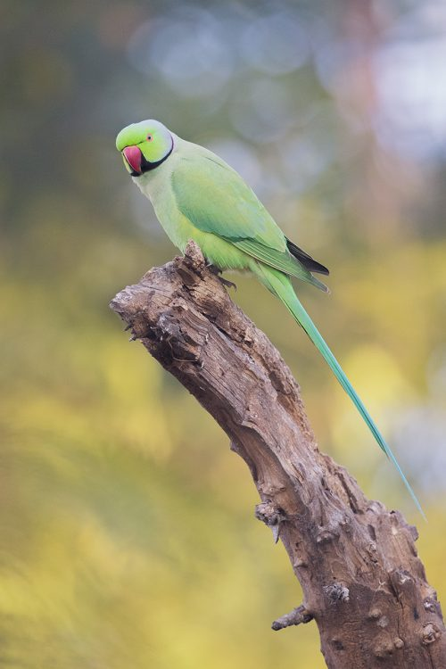 Male Rose-ringed parakeet. Bharatpur, Rajasthan, India. The rose-ringed parakeet (Psittacula krameri), also known as the ring-necked parakeet, is a medium-sized parrot in the family Psittaculidae. Native Africa and South Asia, they have since been introduced to many other parts of the world where escapees from the exotic pet trade have formed feral populations.