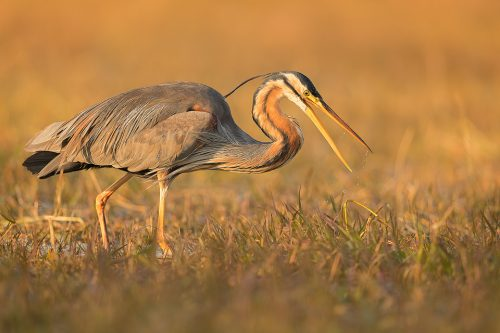 Purple heron shaking off its beak after striking at a fish. Bharatpur, Rajasthan, India.