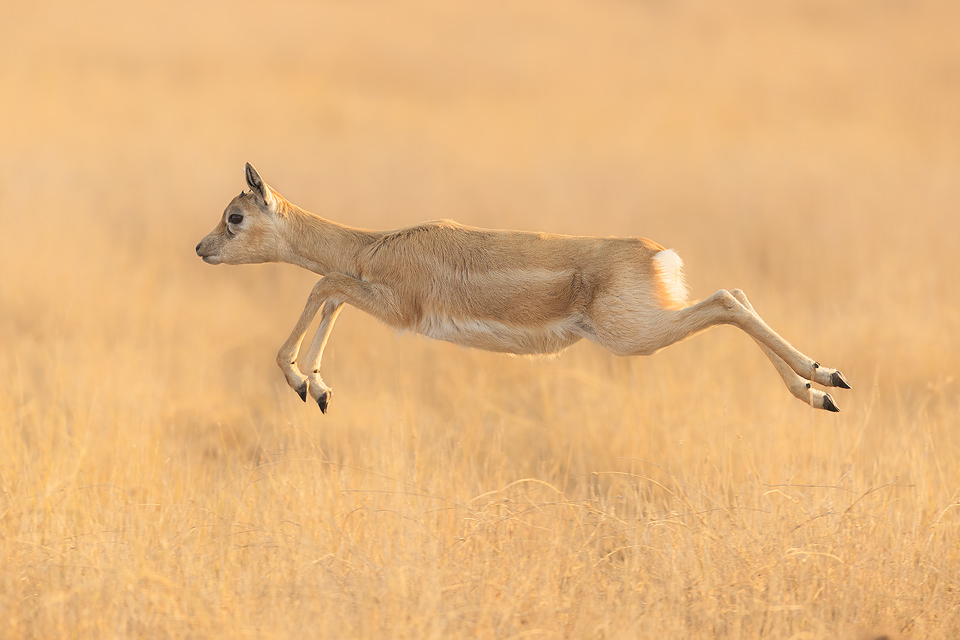Leaping young blackbuck antelope in the grasslands of Tal Chhapar.