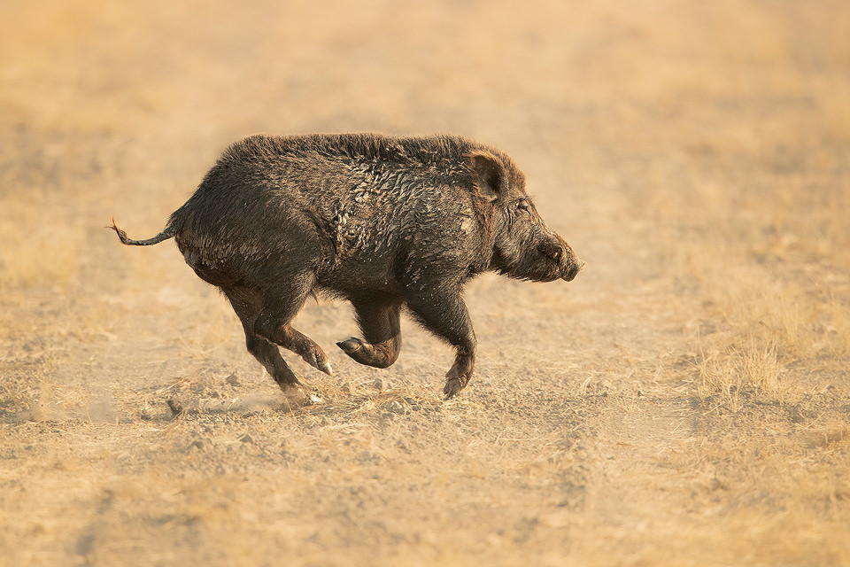 Indian Boar sprinting across a dusty track in the grasslands of Tal Chhapar Sanctuary, Rajasthan, India. India's Grasslands are home to some of its most endangered species, many of which are endemic. This important habitat now only exists in a handful of places in India and is sadly becoming increasingly scarce.