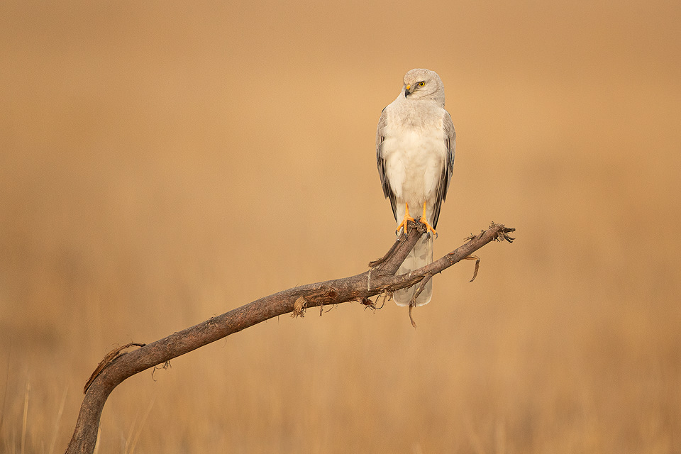 Pallid Harrier perched on an old tree branch in early morning light.Tal Chhapar Sanctuary, Rajasthan, India.