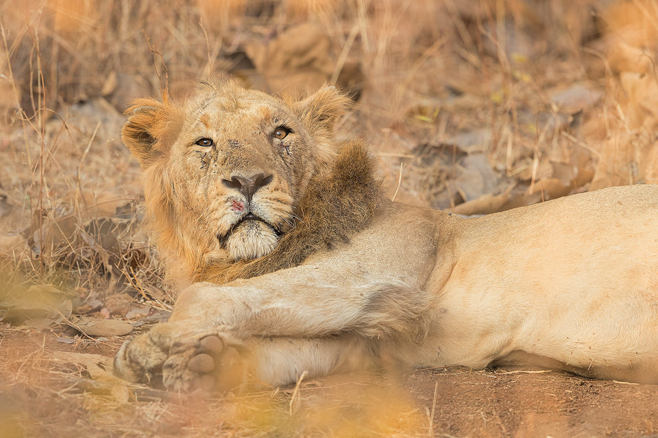 Male Asiatic Lion resting in the late morning, Gir National Park Gujarat.