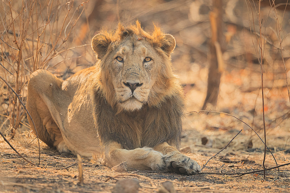 Male Asiatic Lion giving us a curious stare. Gir National Park, Gujarat.