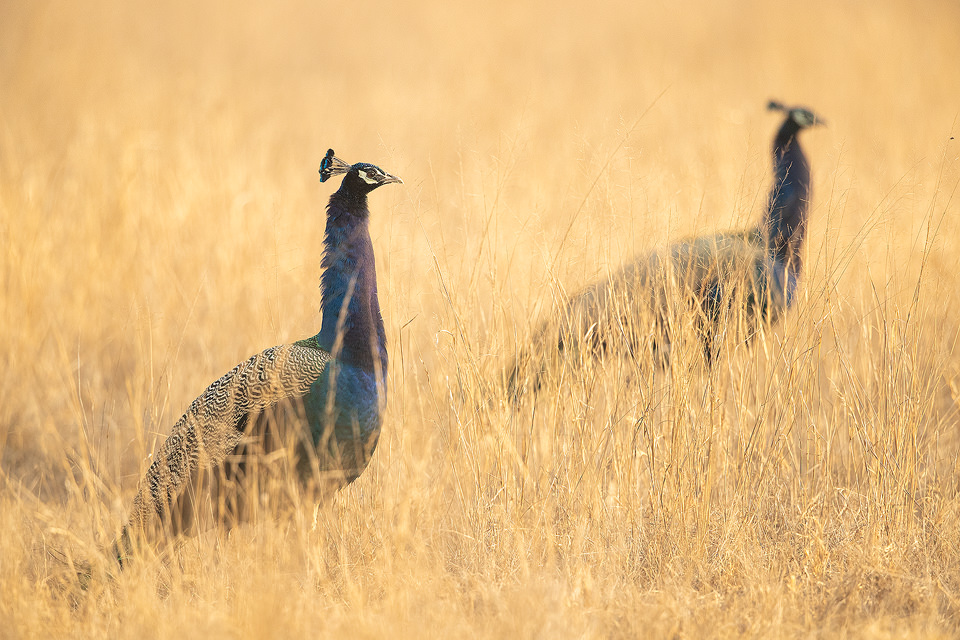 Two male peacocks in long grass. Rajasthan, India. India's Grasslands are home to some of its most endangered species, many of which are endemic. This important habitat now only exists in a handful of places in India and is sadly becoming increasingly scarce.