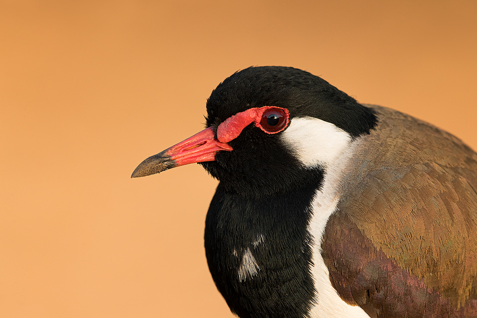 Red-wattled lapwing close up, Gir National Park, India.