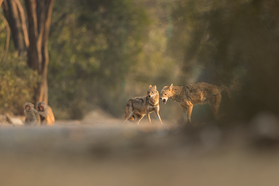 Aggressive Golden Jackal. Jackal snarling at a nearby rival over food. New Delhi, India. These wolf like canids are incredibly wary and have been very difficult to photograph. However after lots of perseverance and a change in tactics I finally started to get some good results! These Indian Golden Jackals have adapted well to life in an urban environment, scavenging leftover bread and fruits brought for the monkeys and feral cows and pigs in Delhi's ridge forest.