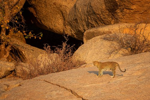 Female Leopard outside her cave in beautiful early morning light. Jawai, Rajasthan. During my time in Rajasthan I was lucky enough to photograph 8 different leopards, with sightings almost every safari. On one particularly successful day we saw 5 different leopards! Here they really take off roading seriously, and with no route or time restrictions, we scaled almost vertical rock faces in our trusty maruti Gypsy.