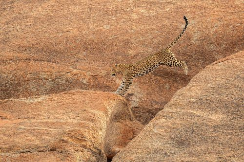 A beautiful female leopard known locally as Nilam leaping across the rocks above her cave. Rajasthan, India. In contrast to leopard watching in the dense jungles of India, they are relatively easy to spot here between the rocky crags and cactuses of the 'Leopard Hills of Rajasthan'. In this incredible landscape the leopard is the top predator meaning they tend to be much more confident and relaxed. During my time in Rajasthan I was lucky enough to photograph 8 different leopards, with sightings almost every safari. On one particularly successful day we saw 5 different leopards! Here they really take off roading seriously, and with no route or time restrictions, we scaled almost vertical rock faces in our trusty maruti Gypsy.