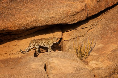 Bera Leopard. A beautiful female leopard known locally as Nilam crossing the wind-shaped rocks outside her cave in late evening light. Rajasthan, India. In contrast to leopard watching in the dense jungles of India, they are relatively easy to spot here between the rocky crags and cactuses of the 'Leopard Hills of Rajasthan'. In this incredible landscape the leopard is the top predator meaning they tend to be much more confident and relaxed.