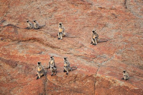 Gray langur Troop. A Group of Grey langurs carefully watching a leopard stalking the valley below. Bera, Rajathan, India. These old world monkeys are named after the Hindu monkey god, Lord Hanuman, and are regarded as sacred in India.
