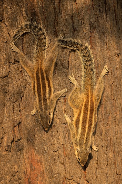 Indian Palm squirrels sunbathing on a tree trunk, Rajasthan India.