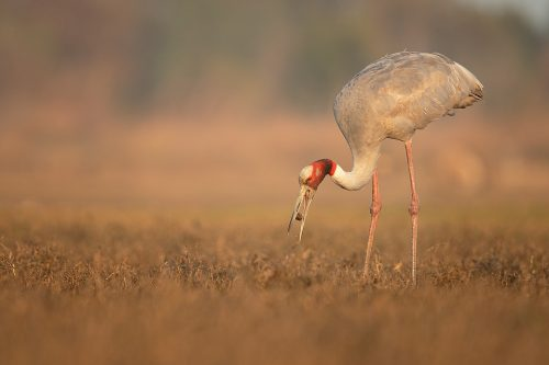 Sarus Crane Feeding. Adult Sarus crane feeding on a water hyacinth seed pod. Greater Noida, India.The Sarus crane is the world's tallest flying bird, standing at an impressive height of up to 6ft.