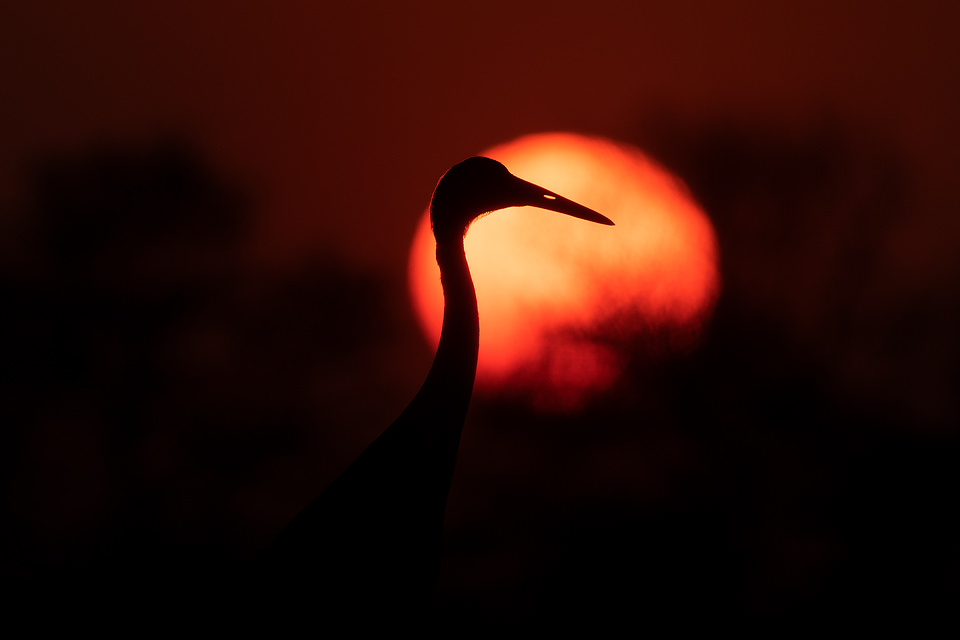 Sarus Crane Silhouette. Adult sarus crane against the setting sun. Greater Noida, India.The Sarus crane is the world's tallest flying bird, standing at an impressive height of up to 6ft.