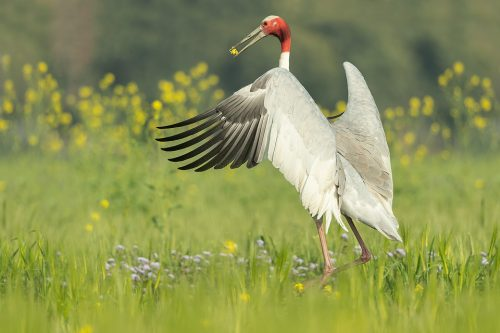 Sarus Crane Leaping. Adult Sarus leaping in the air with a mustard seed flower in its beak as a courtship display to his nearby mate. Greater Noida, India.The Sarus crane is the world's tallest flying bird, standing at an impressive height of up to 6ft.