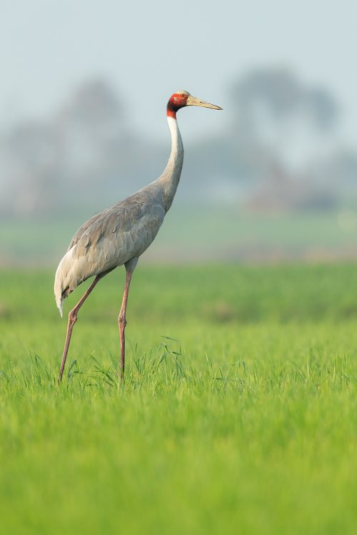Adult Sarus crane portrait taken in a vibrant green field at the edge of a wetland. Greater Noida, India. Sarus cranes are opportunistic omnivores, and eat a wide variety of food, such as aquatic plants, seeds, insects, herptiles and fish.