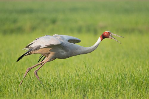 Sarus Crane Taking Flight. Male Sarus Crane taking off from a bright green crop field. Greater Noida, India.The Sarus crane is the world's tallest flying bird, standing at an impressive height of up to 6ft.