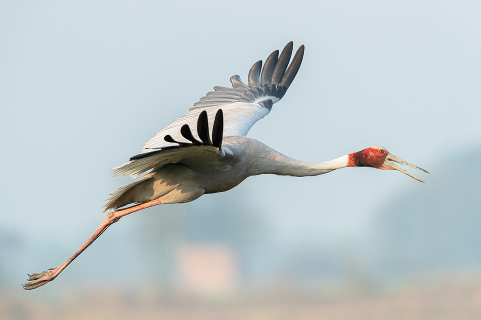 Sarus Crane in Flight. Male Sarus Crane flying over wetland habitat. Greater Noida, India.The Sarus crane is the world's tallest flying bird, standing at an impressive height of up to 6ft.