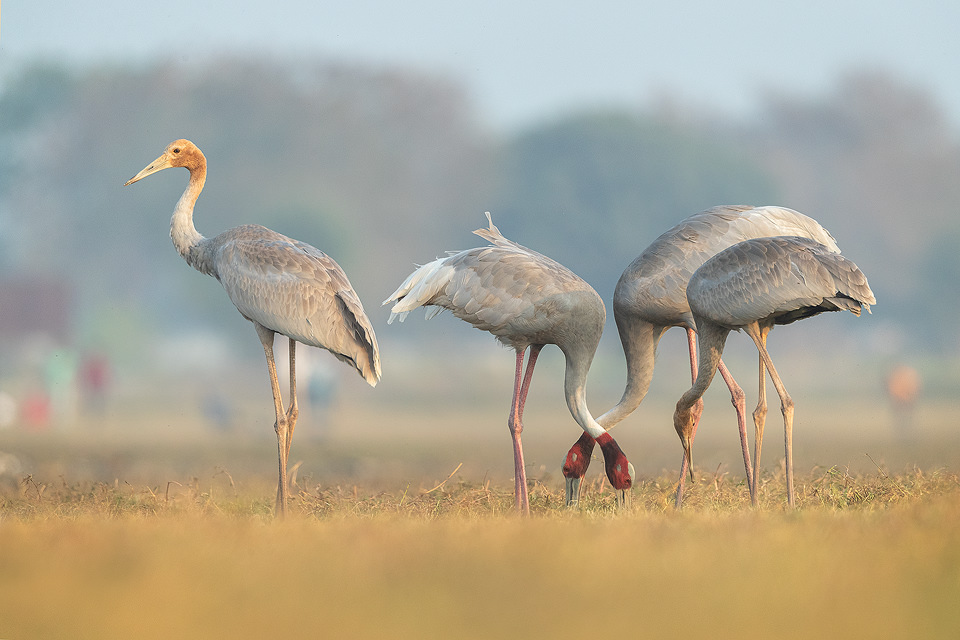 Family of Sarus Cranes feeding in wetland habitat. Greater Noida, India.Sarus cranes are opportunistic omnivores, and eat a wide variety of food, such as aquatic plants, seeds, insects, herptiles and fish.