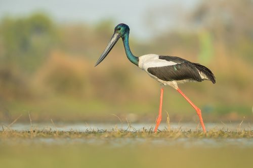 Black-necked stork wading through wetland habitat Uttar Pradesh, India. The Black-necked stork (Ephippiorhynchus asiaticus) is a wading bird in the stork family. These tall, long-necked birds can grow up to 135cm tall with a wingspan of 230cm from tip to tip. Adults have distinctive bluey-black iridescent feathers on the head and neck which give them their common name. They are sexually dimorphic, differentiated by their eyes; females are a striking yellow while the males are dark brown/black. Black necked storks favour areas with a large bodies of water such as floodplains of rivers and wetlands. Here they prey on, amphibians, fish, crustaceans, small water birds and insects.