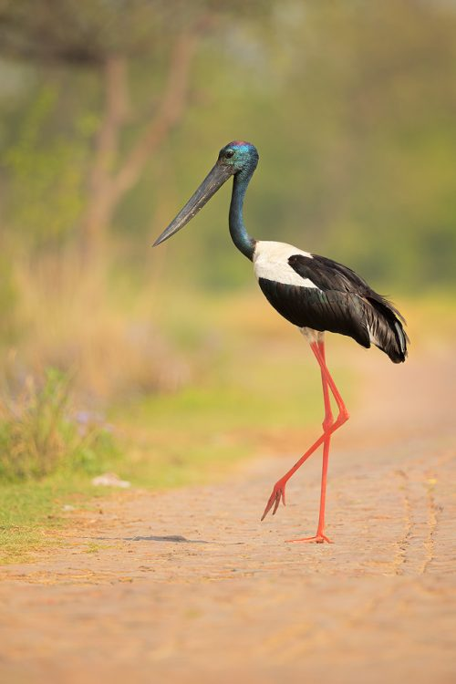 Male Black-necked stork crossing a bumpy cobbled road running through the middle of the wetland. Uttar Pradesh, India.