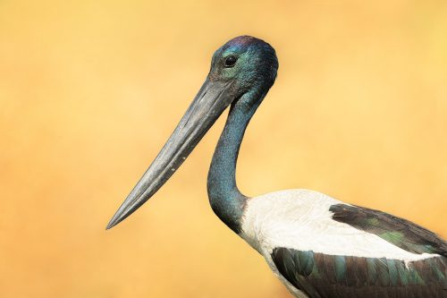 Black-necked Stork close up. Portrait of a striking black necked stork Uttar Pradesh, India.