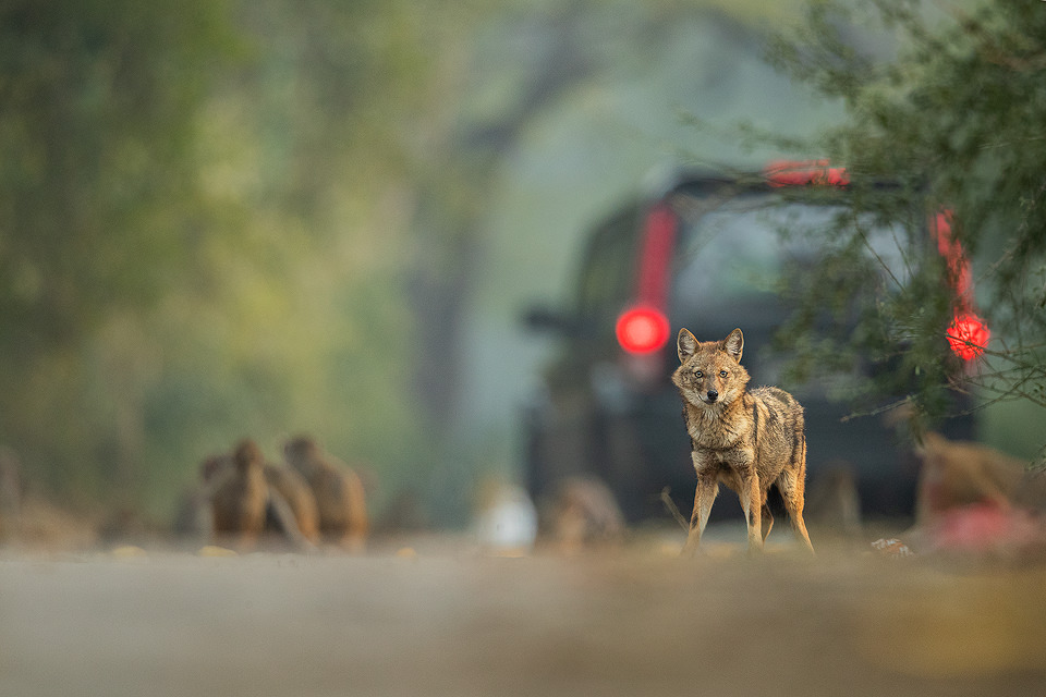Urban Golden Jackal. New Delhi, India. These wolf like canids are incredibly wary and have been very difficult to photograph. However after lots of perseverance and a change in tactics I finally started to get some good results! These Indian Golden Jackals have adapted well to life in an urban environment, scavenging leftover bread and fruits brought for the monkeys and feral cows and pigs in Delhi's ridge forest.