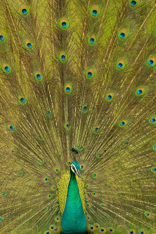 Blue Peacock Displaying. Stunning male blue peacock performing mating display. India.