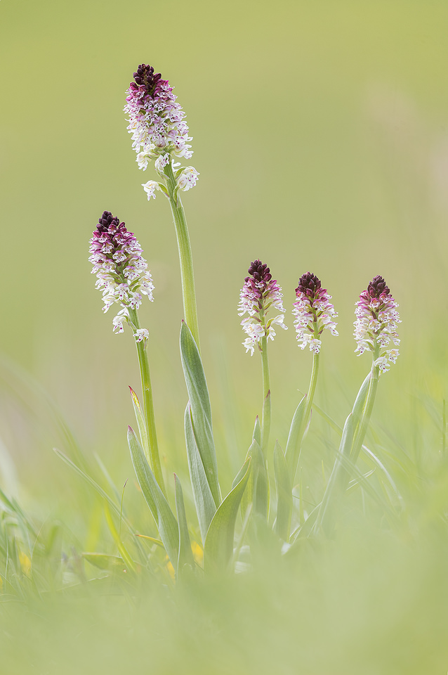 A cluster of Burnt-tip Orchids, Austrian Alps. These stunning orchids were growing in large clusters all over the alpine meadows.Western Tyrol, Austria.