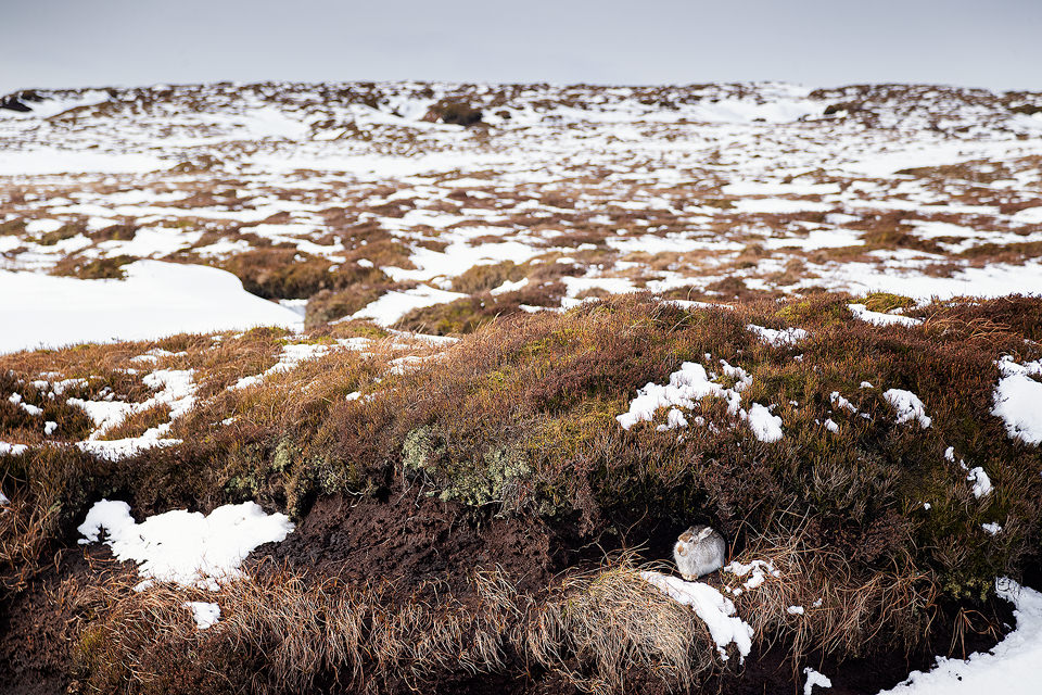 Peak District Mountain Hare Habitat. A mountain hare sheltering from the biting wind under a peat grough with patchy snow. Conditions like these are the most difficult for spotting hares, every patch of snow could potentially be a hare.